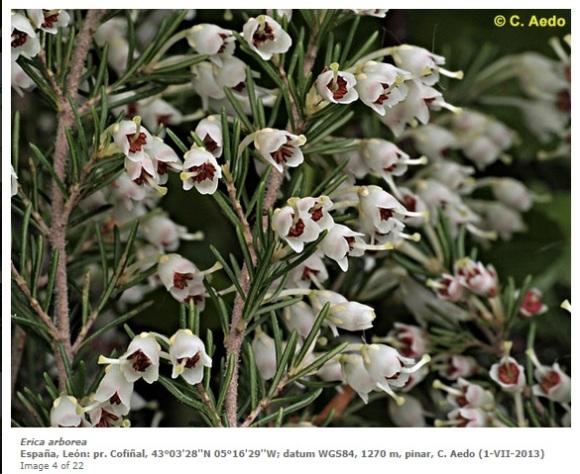 Erica arborea 1